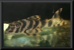 Peckolita vittata (L 15)