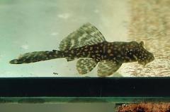 Glyptoperichthys joselimaianus (L 1/L 22)