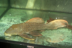 """Pseudacanthicus sp. """"L 24"""""""