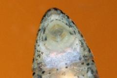 Parotocinclus longirostris