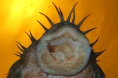 Maul von Ancistrus ranunculus (L 34)