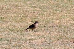 Töpfervogel