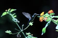 Amethystkolibri (Colibri serrirostris)?