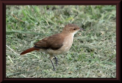 Rost-Töpfervogel (Furnarius rufus)