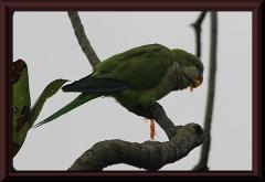Mönchsittiche (Myiopsitta monachus)