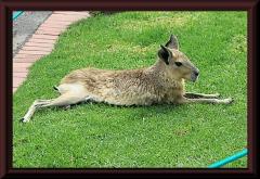 Mara (Dalichotis patagonum)