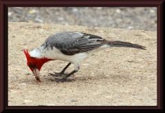 Kardinalsvogel (Paroaria coronata)