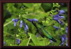 Kolibri (Chlorostilbon aureoventris)