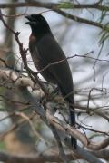 Purpur-Blaurabe (Cyanocorax cyanomelas)