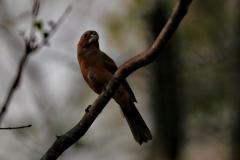 Rotrücken-Kronfink (Coryphospingus cucullatus), Weibchen