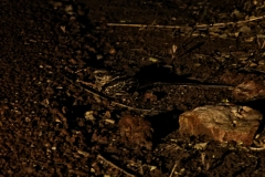 Scherenschwanz-Nachtschwanz (Hydropsalis torquata)