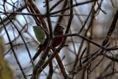Rotrücken-Kronfink (Coryphospingus cucullatus), Männchen