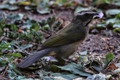 Grünschwingensaltator (Saltator similis)