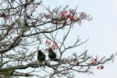 Tucumanamazone (Amazona tucumana )