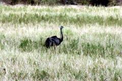 Nandu (Rhea americana)