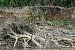 Río Marmoré - Cocoi Reiher (Ardea Cocoi)