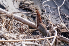 Tigerreiher / Marmorreiher (Tigrisoma lineatum)