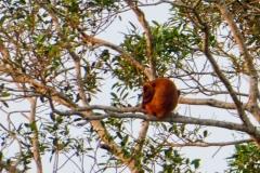 Rote Brüllaffen (Alouatta seniculus)