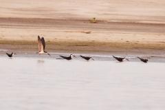 Schwarzmantel-Scherenschnabel (Rynchops niger)