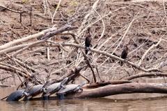 Wasserschildkräten, Olivenscharbe (Phalacrocorax brasilianus)