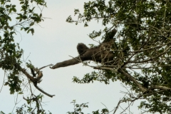 Braunkehl-Faultier (Bradypus variegatus)