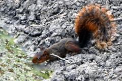 Eichhörnchen (Sciurus ignitus)