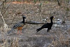 Nacktgesichthokko (Crax fasciolata)
