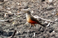Rotbauchdrossel (Turdus rufiventris)