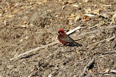 Rotrücken-Kronfink (Coryphospingus cucullatus)