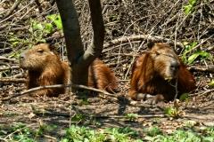 Capybara, Wasserschwein (Hydrochoerus hydrochaeris)