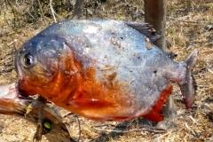 Natterers Sägesalmler, Roter Piranha (Pygocentrus nattereri)