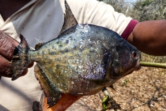 Gelber Piranha (Serrasalmus maculatus)?