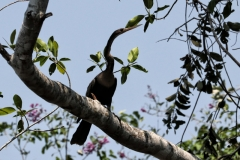 Schlangenhalsvogel (Anhinga anhinaga)