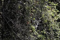 Blauscheiteltrogon (Trogon curucui)