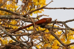Eichhörnchenkuckuck (Piaya cayana)