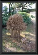 Wurzel der Kaiserpalme (Palmeira Imperial)