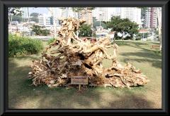 Wurzel vom Flammenbaum (Delonix regia)