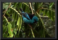 Pitpit (Dacnis cayana), Männchen