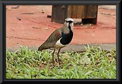 Bronzekiebitz (Vanellus chilensis)