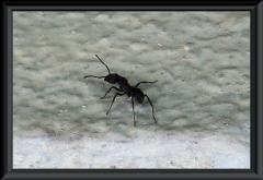 Die Ameise ist reichlich einen Zentimeter groß.