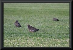 Picazuro Pigeon (Patagioenas picazuro)?