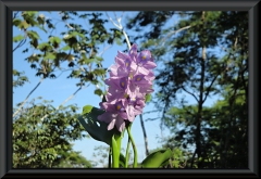 Wasserhyazinthe (Eichhornia)