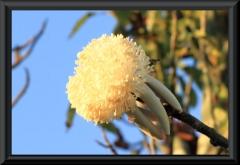 Offene Frucht von Munguba (Pseudobombax munguba)