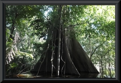 Stamm einer Seibe (Samauma)