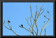 Links Rabengeier (Coragyps atratus), rechts Papageien