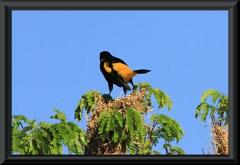 Gelbrücken-Stirnvogel (Cacicus cela)