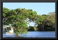 Baum mit Nestern vom Gelbrücken-Stirnvogel (Cacicus cela)