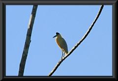 Kappenreiher (Pilherodius pileatus)