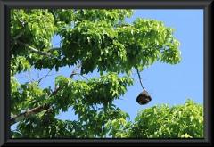 Paradiesnuss, Sapucaia (Lecythis ollaria)