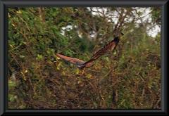 Fischbussard (Busarellus nigricollis)